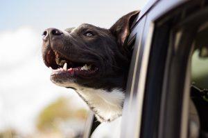 chien de vomir en voiture